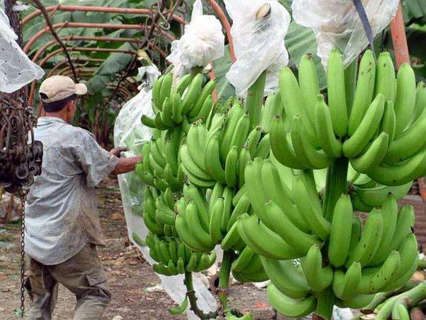 banano-organico.jpg