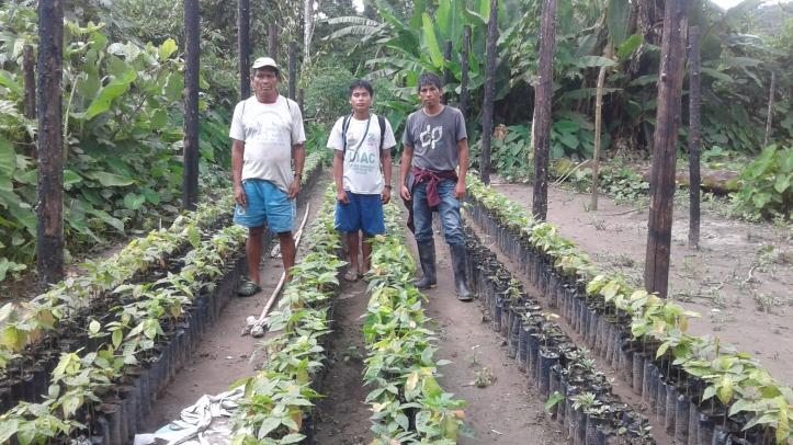 Plantones de Cacao